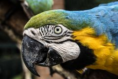 Colored, blue and yellow Macaws of Brazil stock photos
