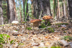 Several boletus mushrooms on green moss in forest Royalty Free Stock Image