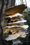 Bracket fungi growing on a tree trunk Royalty Free Stock Photos