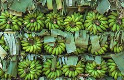 Green bananas on the branches Royalty Free Stock Photos