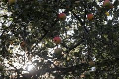 Several bright red apples in green foliage. Apple tree with ripe fruit. The sun shines through the trees stock photography