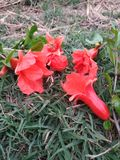 Several bright red pomegranate flowers scattered on the lawn stock photo