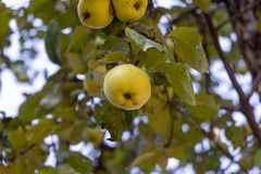 Several bright yellow apples in green foliage. Juicy apple closeup. Apple tree with ripe fruit. Healthy food stock photo