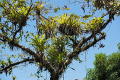 Several bromeli from tree branches on the beach of Drake, Costa Rica.  royalty free stock images