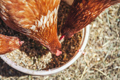Several brown hens peck feed from bowls stock images