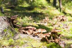 Several brown mushrooms grow on tree stump Royalty Free Stock Photo