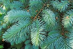 Several brunches of the blue spruce with needles Stock Photos
