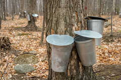 Several buckets used to collect sap of maple trees Stock Photos