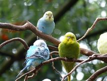 Several budgerigars sit on a branch.  Royalty Free Stock Photos