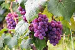 Several Bunch of Grapes Stock Photography