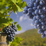 Several bunches of ripe grapes on the vine Royalty Free Stock Photo