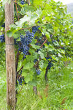Several bunches of ripe grapes on the vine Stock Image