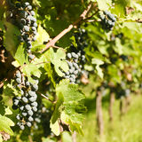 Several bunches of ripe grapes on the vine Royalty Free Stock Image