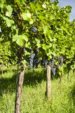 Several bunches of ripe grapes on the vine Royalty Free Stock Images