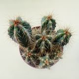 Several cacti with long needles in one pot. top view royalty free stock images