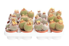 Several cacti in pots Royalty Free Stock Photos