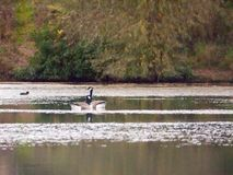 Several Canadian Geese on top of lake surface autumn. Essex; england; uk Royalty Free Stock Images