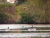 Several Canadian Geese on top of lake surface autumn. Essex; england; uk Stock Image