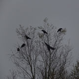 Several Carrion Crows Corvus corone sitting on tree. Grey background stock photos