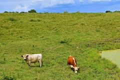 Several cattle graze in a meadow. A Hereford cow and Charolais bull graze in a green lush pasture royalty free stock photography