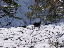 Several chamois in the wild. A chamois in the wild looks in the camera Royalty Free Stock Images