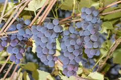 Clusters of blue grapes hanging on a vine. Several clusters of the ripe blue grapes hanging on vine on the vineyard Royalty Free Stock Image