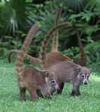 Several Coatis Royalty Free Stock Images