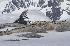 Several colonies of Adelie penguins on the Antarctic island on a Royalty Free Stock Photo