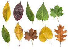 Several colored leaf isolated from golden decorative autumn leaf Royalty Free Stock Photo