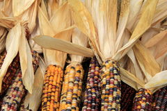 Several colorful decorative Indian Corn on table Royalty Free Stock Photo