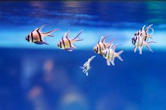 Several colorful fish in an aquarium that swim in a row stock image