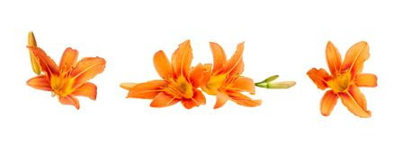 Free Several Colors Of Orange Daylily On A White Isolated Background. Beautiful Flowers. Decorative Items Royalty Free Stock Photography - 151994357