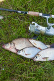 Several common bream fish, common roach and silver bream or whit Royalty Free Stock Photos