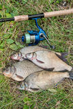 Several common bream fish, crucian fish, roach fish, bleak fish Stock Images