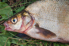 Several common bream fish on green grass. Catching freshwater fi Stock Photo