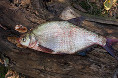 Several common bream fish on green grass. Catching freshwater fi Royalty Free Stock Photo
