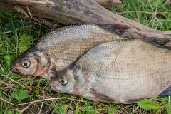 Several common bream fish on green grass. Catching freshwater fi Royalty Free Stock Photography