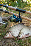 Several common bream fish on the natural background. Catching fr Stock Photography