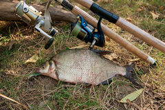 Several common bream fish on the natural background. Catching fr Royalty Free Stock Images