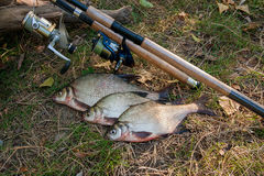 Several common bream fish on the natural background. Catching fr Royalty Free Stock Photography