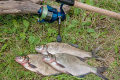 Several common bream fish on the natural background. Catching fr Stock Image