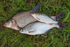 Several common bream fish and silver bream or white bream fish, Stock Images