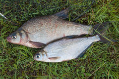 Several common bream fish and silver bream or white bream fish o Royalty Free Stock Photo