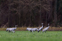 Several common cranes (Grus grus) in meadow Royalty Free Stock Photos