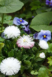 Several cornflowers and heartsease in foliage. Several cornflowers and heartsease in the foliage Stock Photos