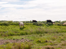 Several cows atop the hilldside on a path in the country farm la Royalty Free Stock Photos