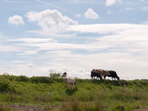Several cows atop the hilldside on a path in the country farm la Royalty Free Stock Image
