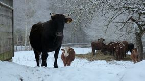 Сows under snow. Several cows of different colors, standing under the snow in a beautiful snow-covered village stock footage