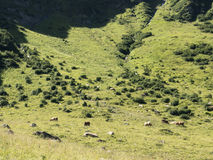 Several cows grazing on mountain pasture. Alpine traditional farming. Royalty Free Stock Images