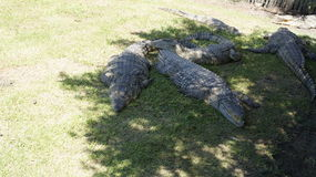 Several crocodiles lie on the grass in the shade Stock Image